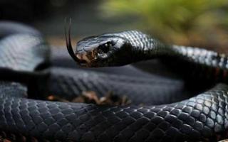 世界上速度最快的蛇:黑曼巴蛇