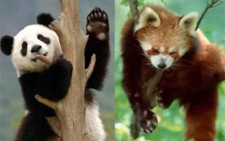 小熊猫跟大熊猫的区别:两者并不属于同一个物种