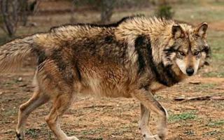 墨西哥狼:北美最小的狼,现在是濒危物种