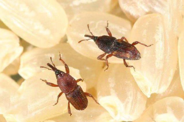 米放久了就生虫,那这些虫子是从哪来的?难道是凭空出现的吗-第2张图片-IT新视野