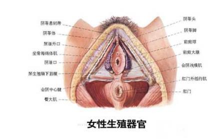 女性生殖生理(图)-第1张图片-IT新视野