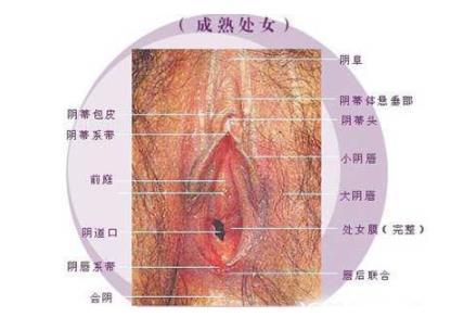 女性生殖生理(图)-第2张图片-IT新视野