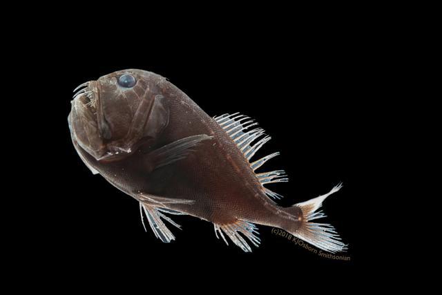 深海超黑鱼能吸收走99.5%照射到其身上的光线-第2张图片-IT新视野