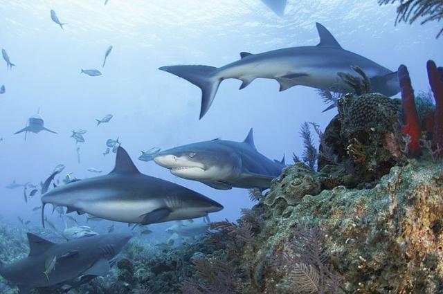 """全球20%珊瑚礁中的鲨鱼已经 """"功能性灭绝""""-第1张图片-IT新视野"""